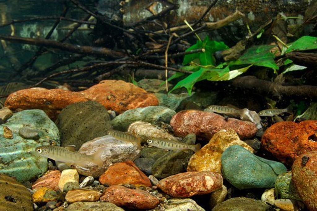 USA, Oregon, Sugarpine Creek, Juvenile Coho Salmon (Oncorhynchus kisutch) : Stock Photo