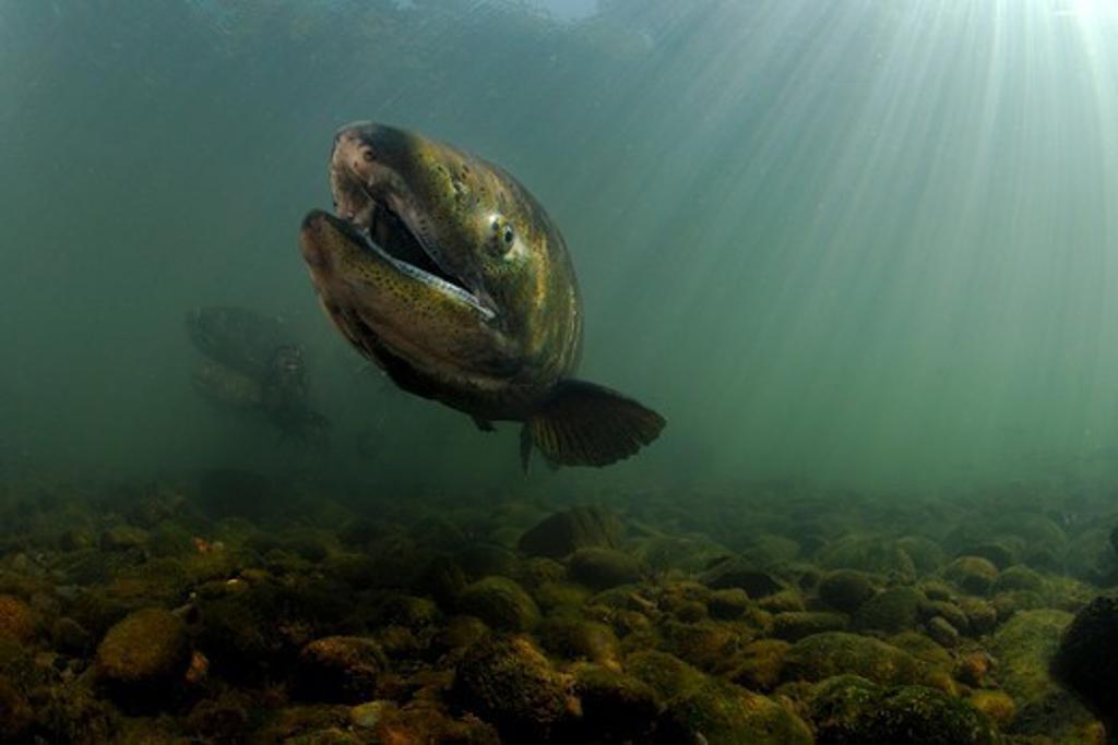 USA, Oregon, Rogue River, Chinook or King Salmon (Oncorhynchus tshawytscha) : Stock Photo