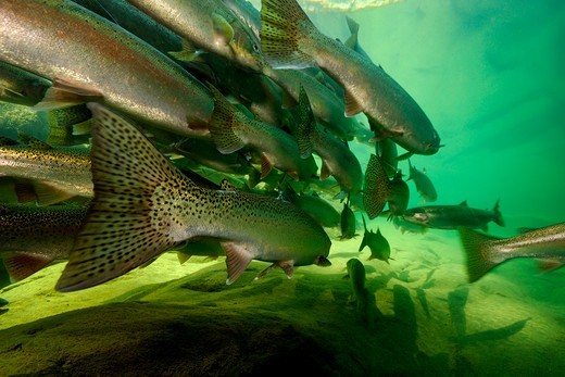 Stock Photo: 4414-1607 USA, Oregon, Umpqua National Forest, Steelhead (Oncorhynchus mykiss)