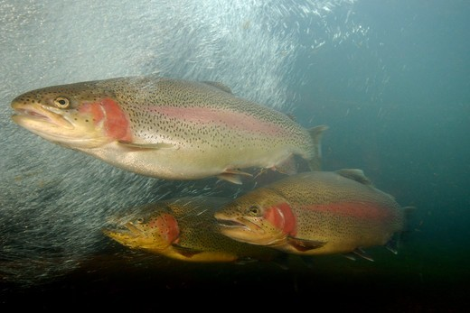 USA, Oregon, Rogue River, Rainbow trout (Oncorhynchus mykiss) : Stock Photo