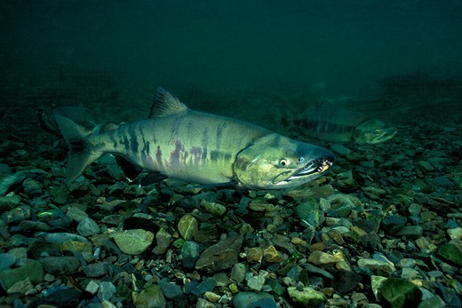 Stock Photo: 4414-1636 USA, Alaska, Owens Creek, Chum or Dog Salmon, Oncorhynchus keta