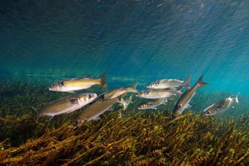 USA, Florida, Salt Springs, Striped mullet, Mugil cephalus : Stock Photo