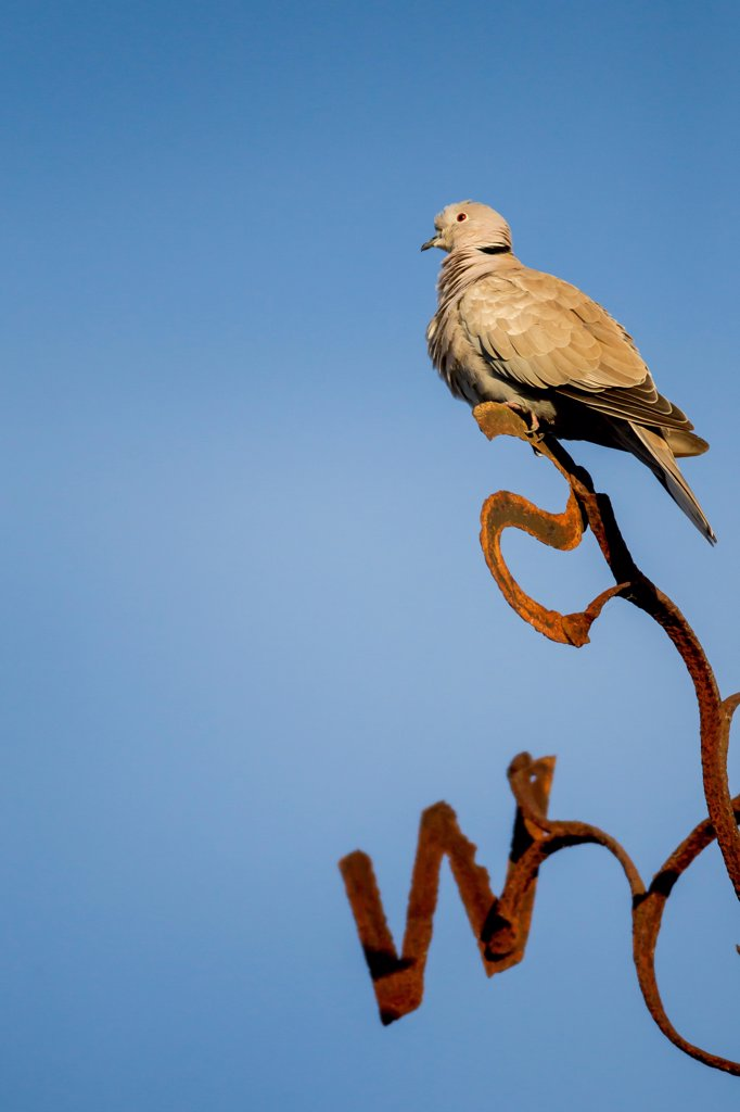 Stock Photo: 4416-1037 Collare Dove (Streptopelia decaocto) on weathervane. Norfolk