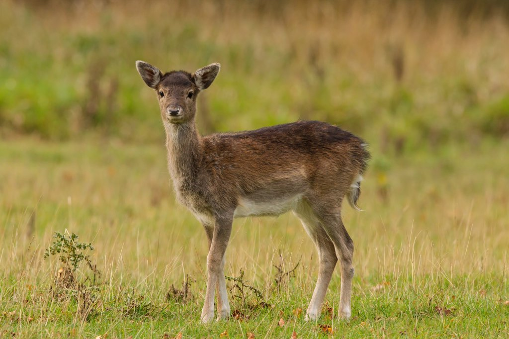 Stock Photo: 4416-1045 Female Fallow Deer. Country Park. North Norfolk