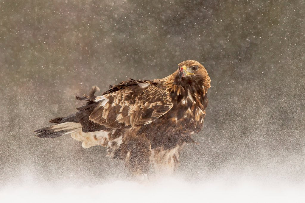 Golden Eagle (Aquila chrysaetos) in the snow Finland. : Stock Photo