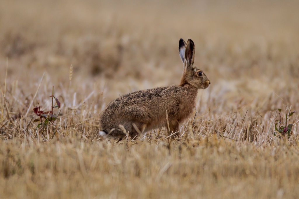 Stock Photo: 4416-1076 European Brown Hare ( in Field in Early Morning) in Norfolk