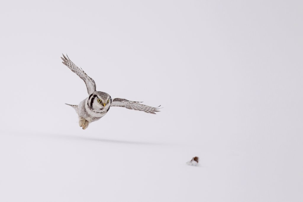 Hawk Owl (Surnia ulula) pouncing on vole in snow in Finland. : Stock Photo
