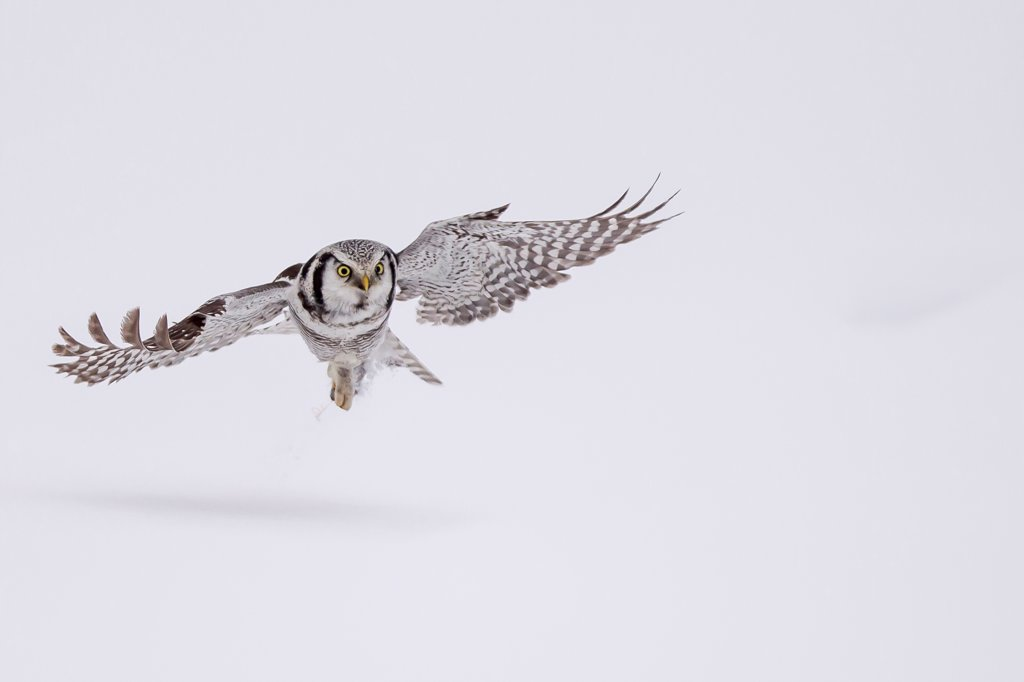 Stock Photo: 4416-1083 Hawk Owl in flight (Surnia ulula) hunting  in snow in Finland.