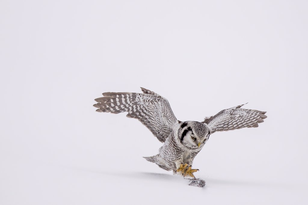 Hawk Owl in flight (Surnia ulula) hunting  in snow in Finland. : Stock Photo