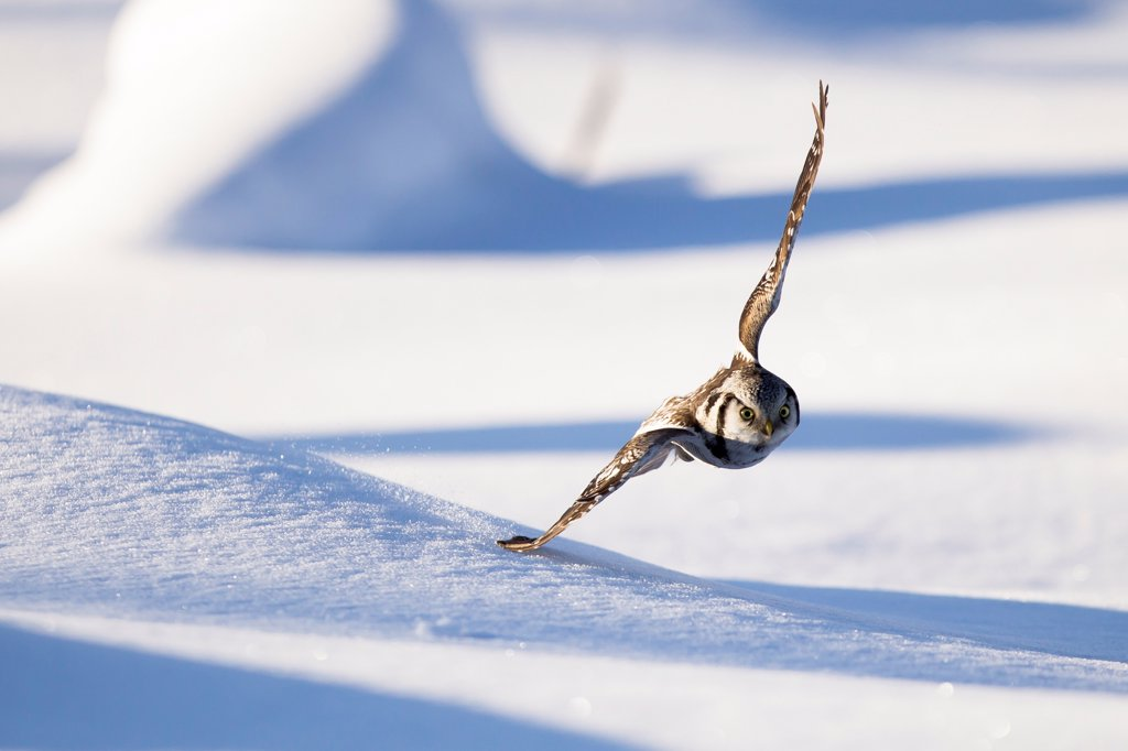 Stock Photo: 4416-1085 Hawk Owl flying low in snow Finland