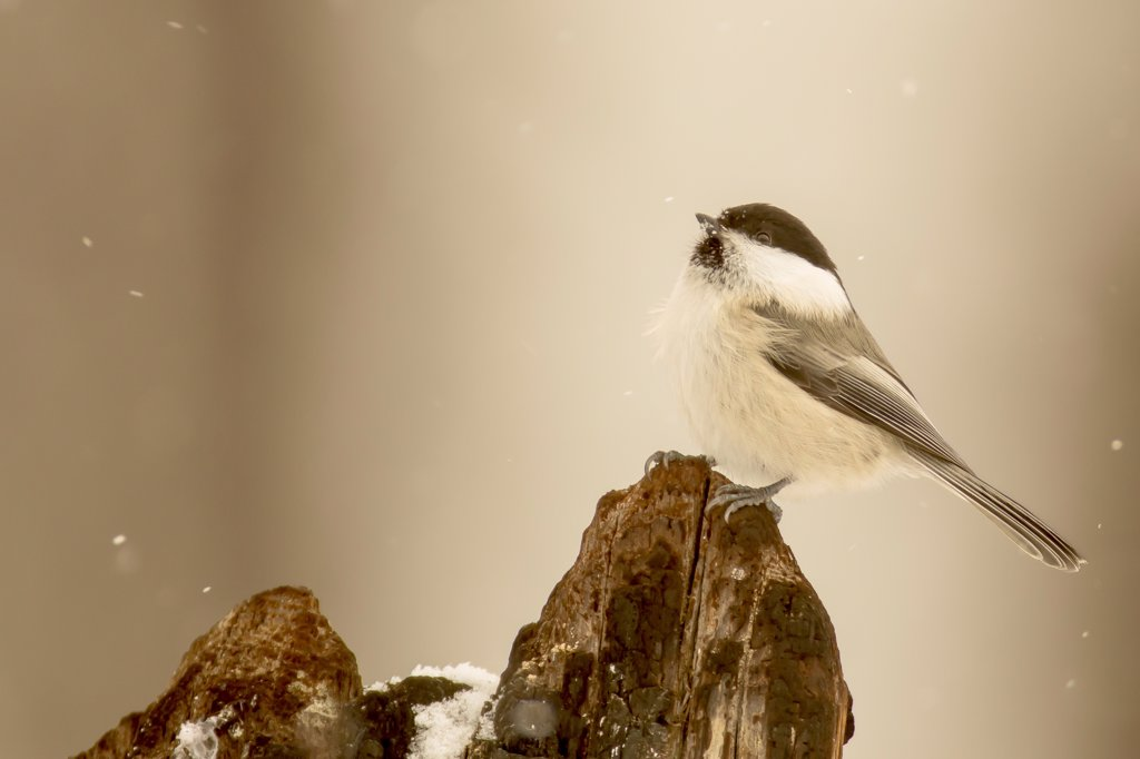 Stock Photo: 4416-1110 Marsh Tit (Parus cinctus) sitting on branch perch Finland.