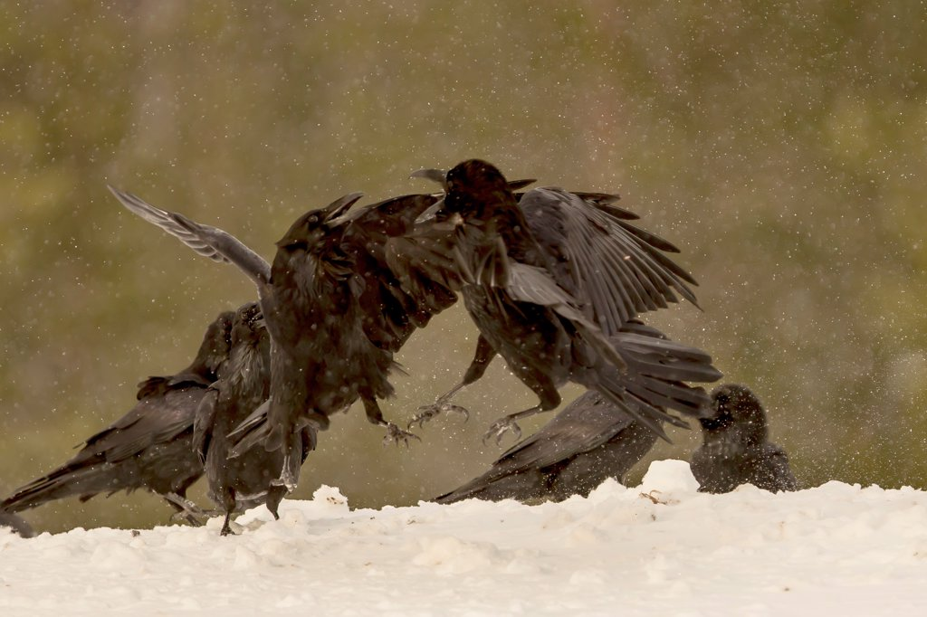 Stock Photo: 4416-1135 Ravens (Corvus corax) fighting in the snow Finland
