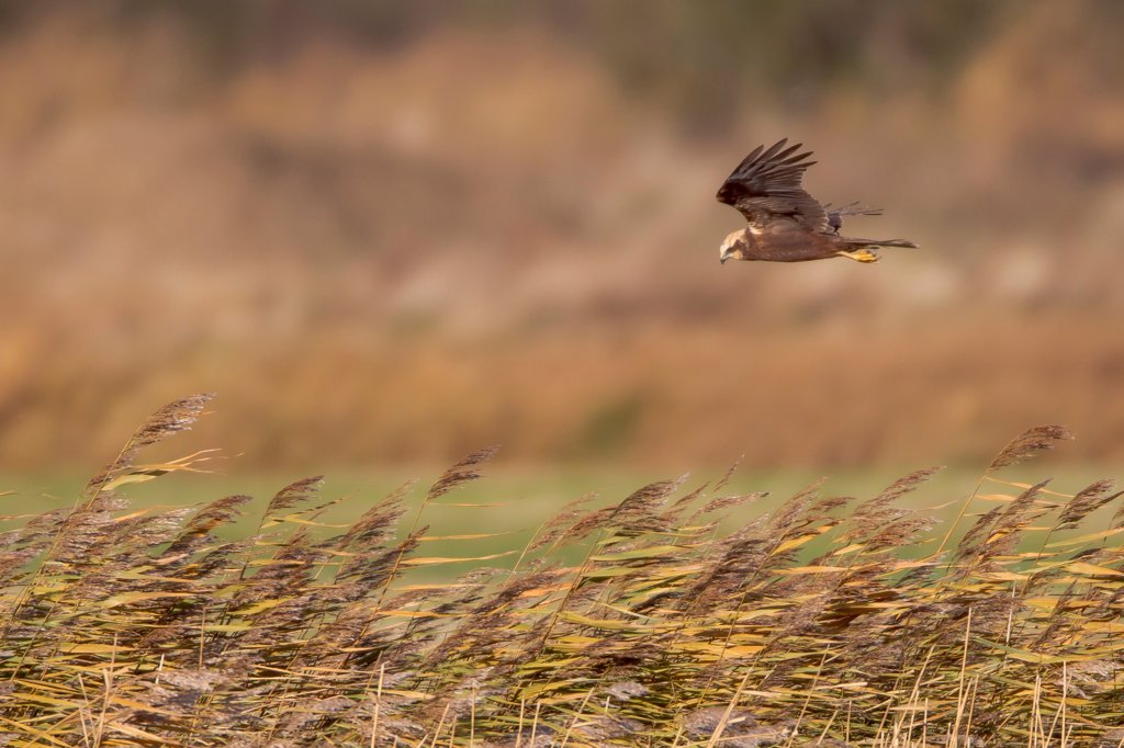 UK, England, Marsh Harrier (Circus aeruginosus) female flying over reedbed : Stock Photo
