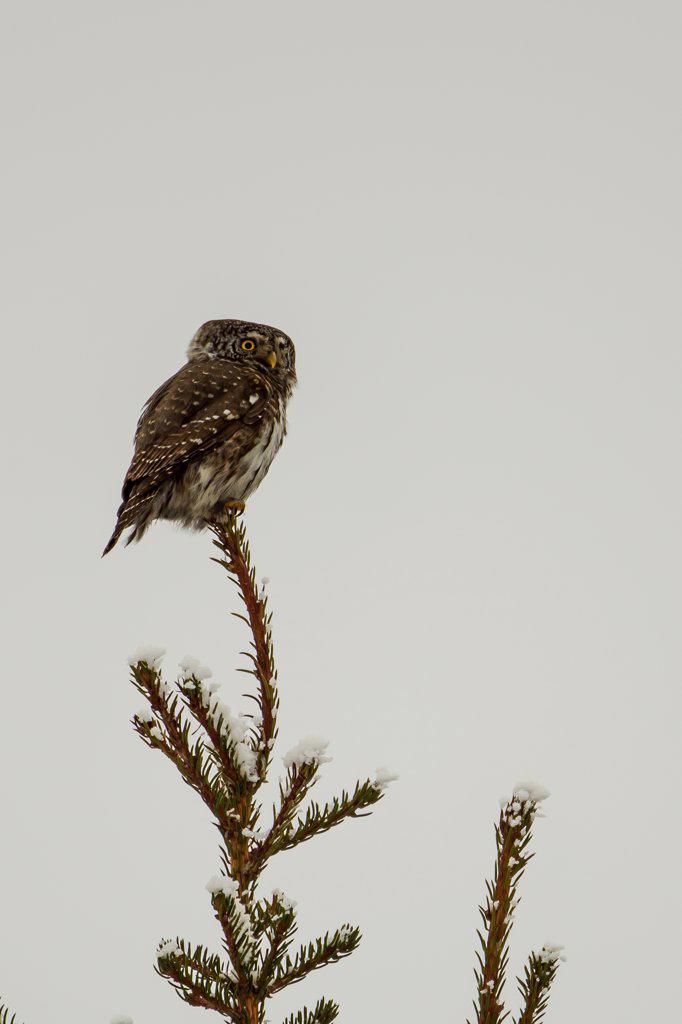 Stock Photo: 4416-1214 Finland, Eurasian Pygmy Owl (Glaucidium passerinum) on top of fir tree