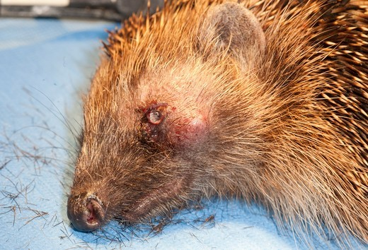 Stock Photo: 4418-1193 Hedgehog in animal hospital