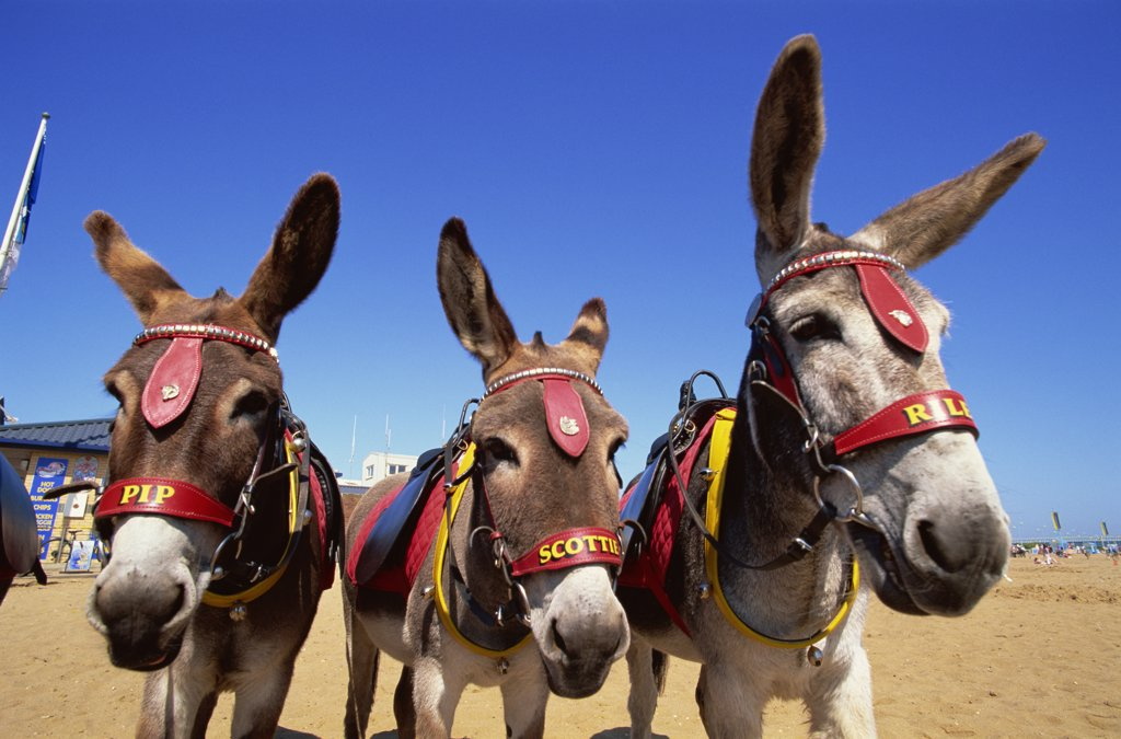 Stock Photo: 442-10637 Three donkeys (Equus asinus) on the beach, Skegness, Lincolnshire, England