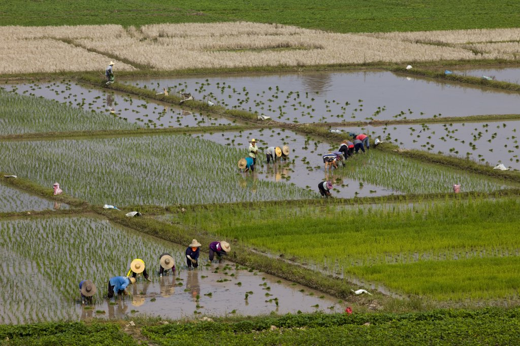 Thailand,Chiang Mai,Rice Planting : Stock Photo