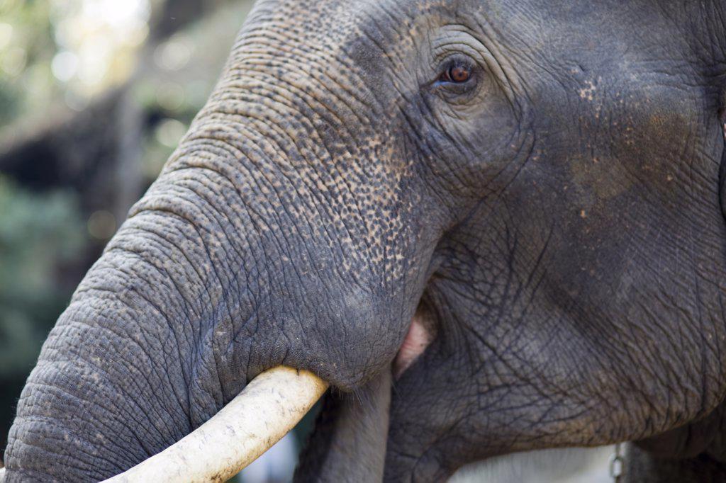 Thailand,Chiang Mai,Elephant Camp,Elephant Trunk and Tusk : Stock Photo