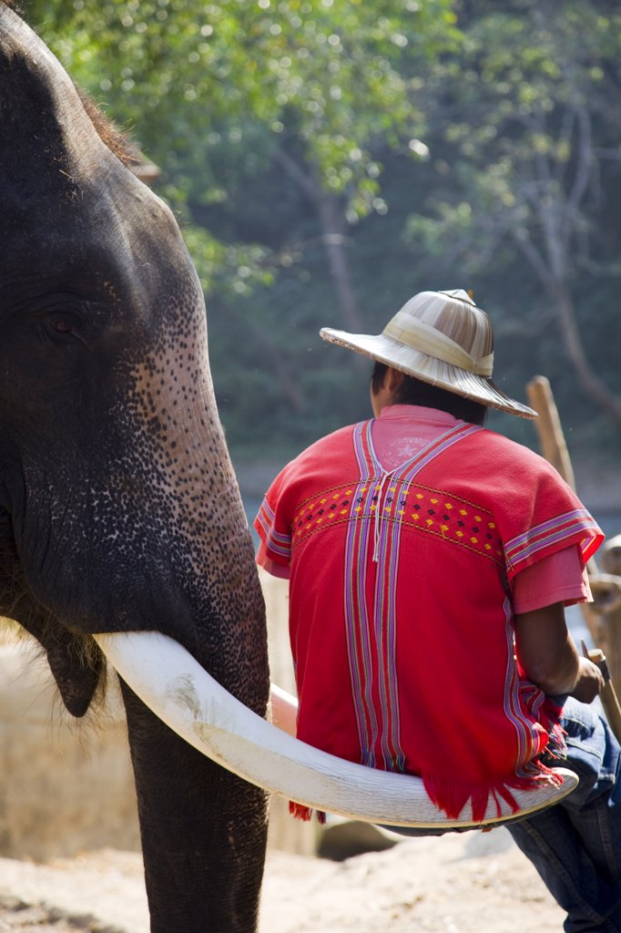 Thailand,Chiang Mai,Elephant Camp,Elephant Trainer Sitting on Elephant Tusk : Stock Photo