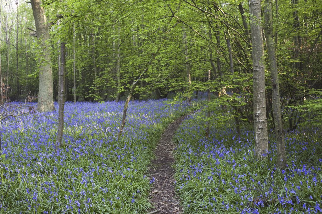 Stock Photo: 442-10768B Bluebells in a forest, Kent, England