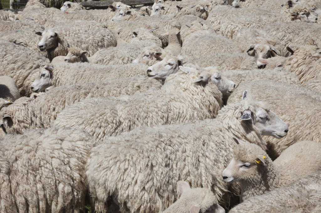 UK, England, Kent, Romney Marsh, flock of sheep : Stock Photo