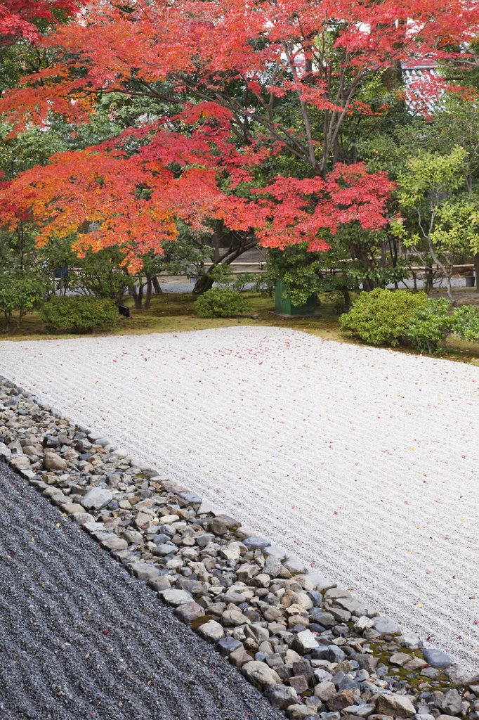 Japanese maple trees in a garden, Zen Garden, Kennin-ji Temple, Kyoto Prefecture, Kinki Region, Honshu, Japan : Stock Photo