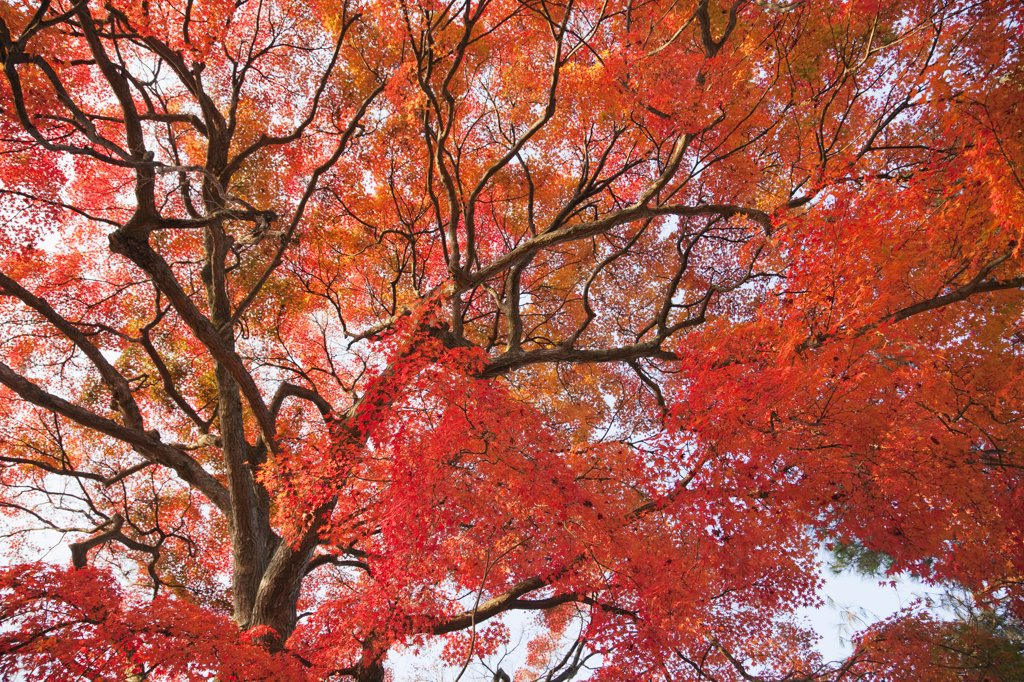 Maple leaves on a tree, Arashiyama, Kyoto Prefecture, Kinki Region, Honshu, Japan : Stock Photo