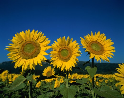 Stock Photo: 442-1355B Close-up of sunflowers in a field