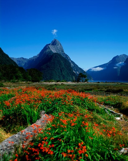 Flower growing on a field, Milford Sound, South Island, New Zealand : Stock Photo