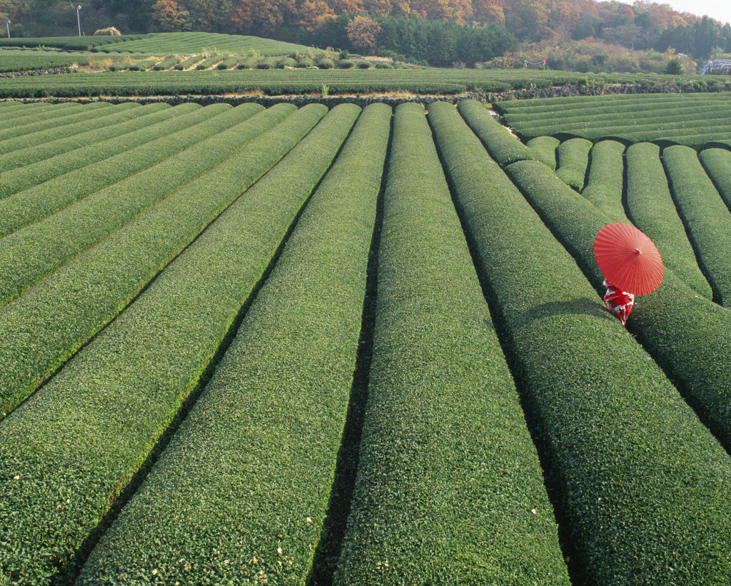 Stock Photo: 442-3170B High angle view of a person in a tea field, Japan