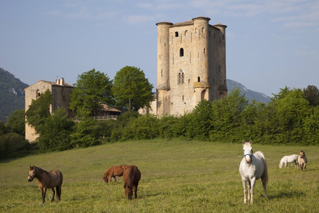 Stock Photo: 442-35831 Horses grazing in a field with castle in the background, Arques Castle, Arques, Aude, Languedoc-Rousillon, France
