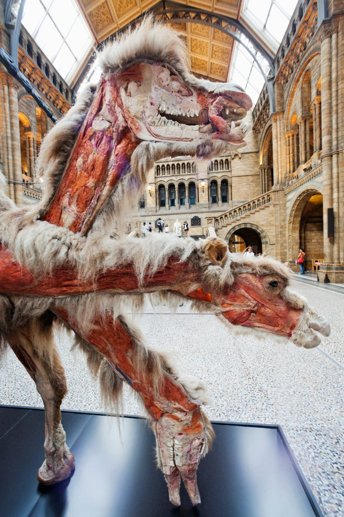 UK, London, Kensington, Natural History Museum, Dissected Camel Exhibit : Stock Photo