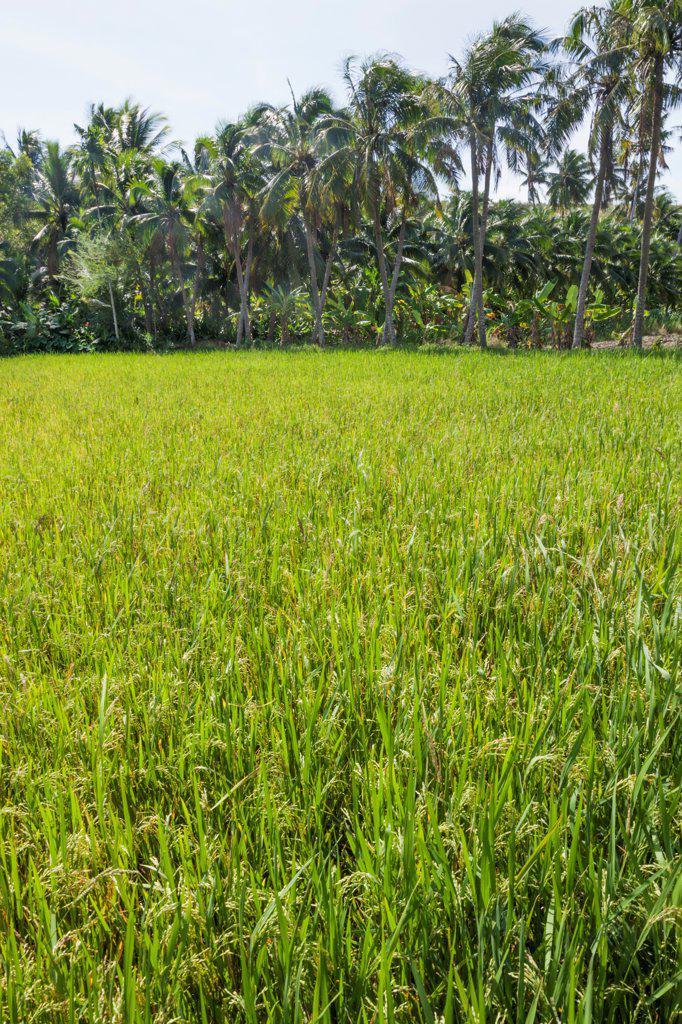 Stock Photo: 442-39012 Vietnam, Mui Ne, Rice Field