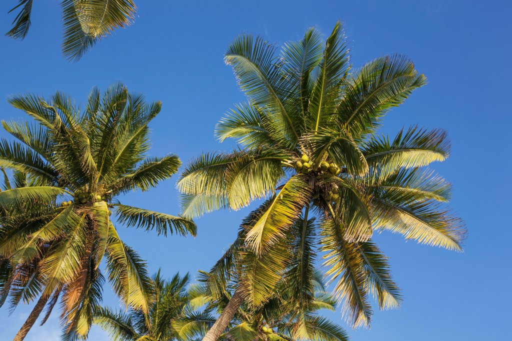 Stock Photo: 442-39067 Vietnam, Mui Ne, Mui Ne Beach, Palm Trees