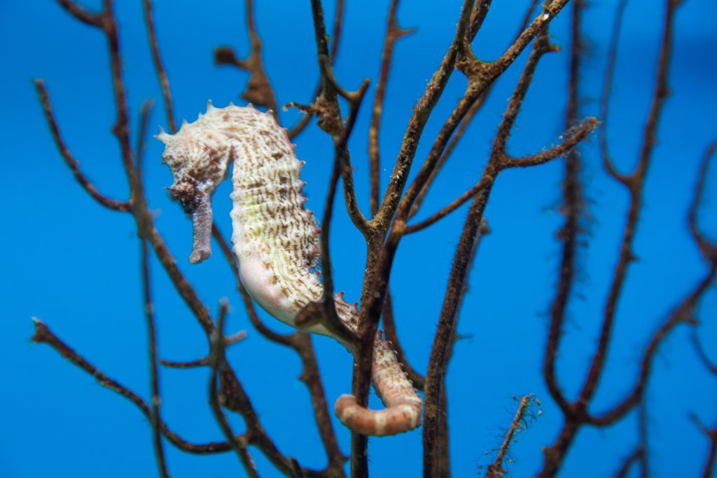 Vietnam, Nha Trang, National Oceanographic Museum, Seahorse (Hippocampus) : Stock Photo