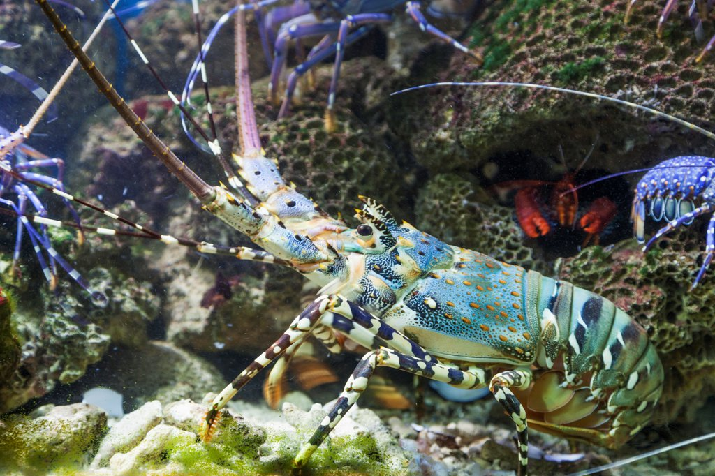 Stock Photo: 442-39150 Vietnam, Nha Trang, National Oceanographic Museum, Lobster