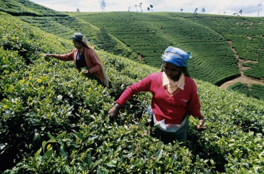 Stock Photo: 442-5367 High angle view of two mid adult women harvesting tea, Nuwara Eliya, Sri Lanka