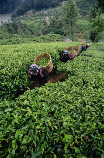 Stock Photo: 442-5369 High angle view of women harvesting tea, Nuwara Eliya, Sri Lanka