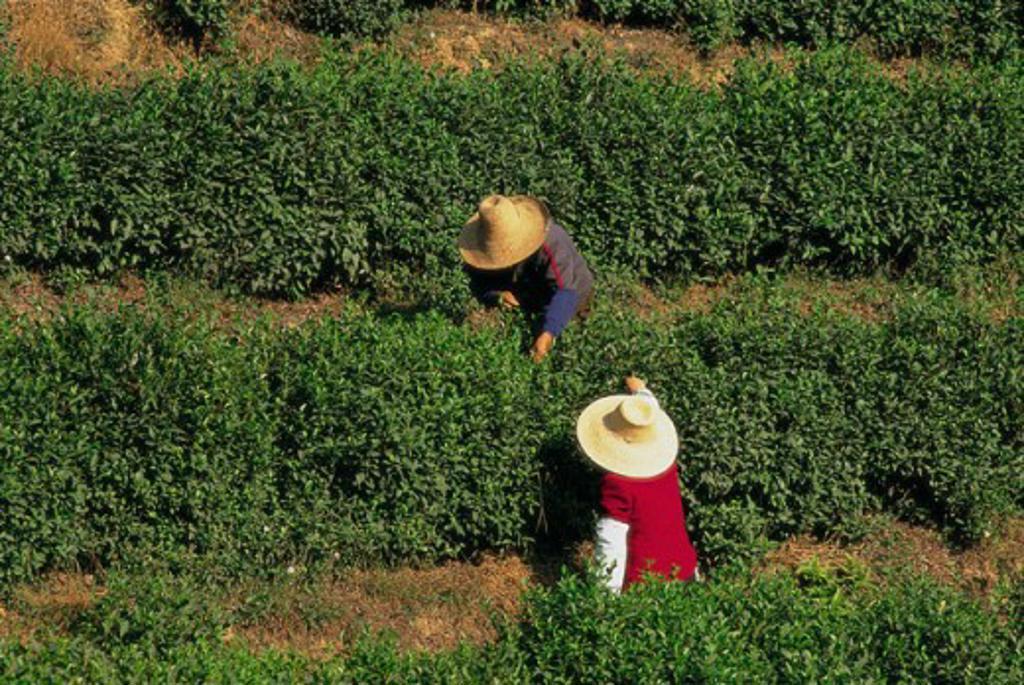 Stock Photo: 442-5666 People working on a tea plantation, Hangzhou, China