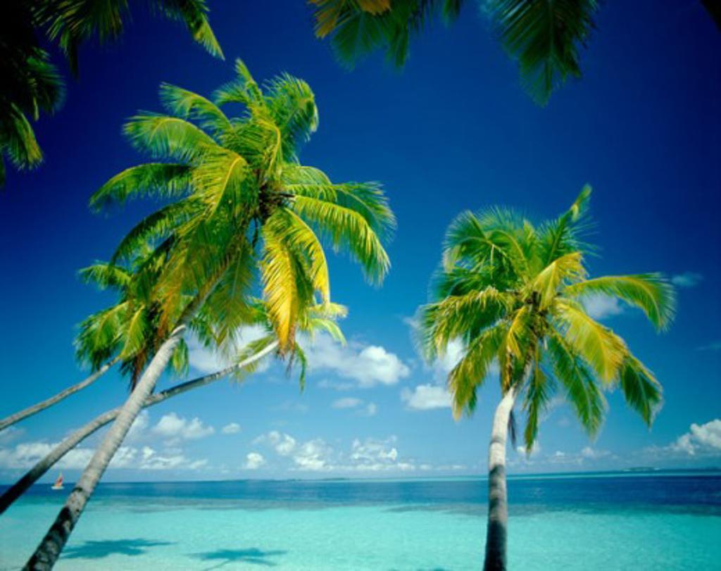 Stock Photo: 442-5828 Palm trees on a beach, Maldives