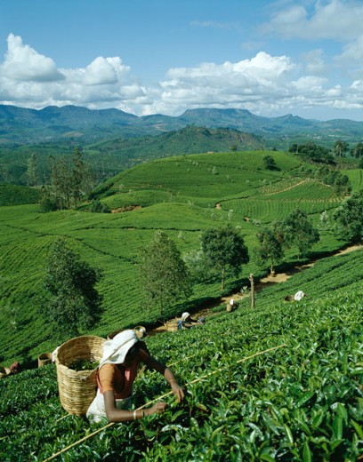 Stock Photo: 442-6546 Group of women picking tea leaves in a field, Nuwara Eliya, Sri Lanka
