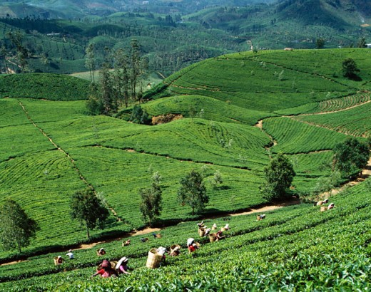Stock Photo: 442-6548 Group of women picking tea leaves in a field, Nuwara Eliya, Sri Lanka