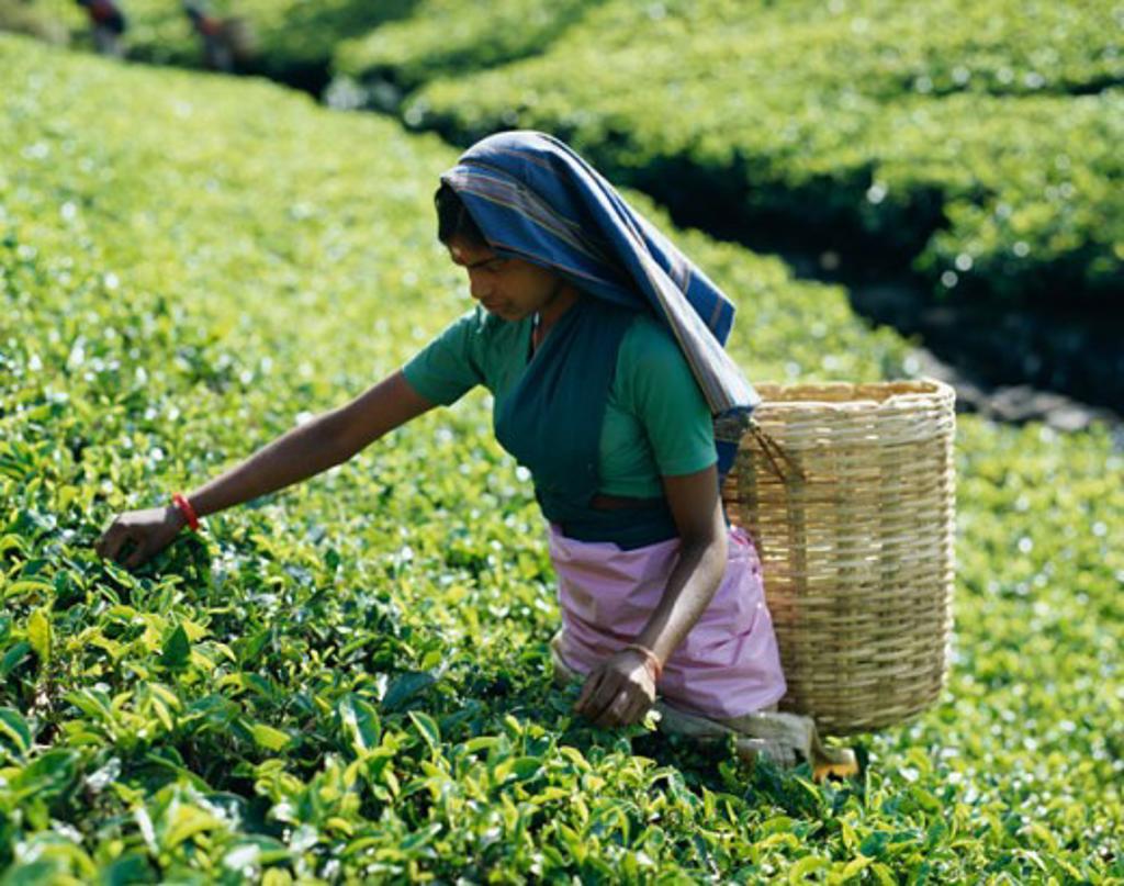 Stock Photo: 442-6555 Mid adult woman picking tea leaves in a field, Nuwara Eliya, Sri Lanka