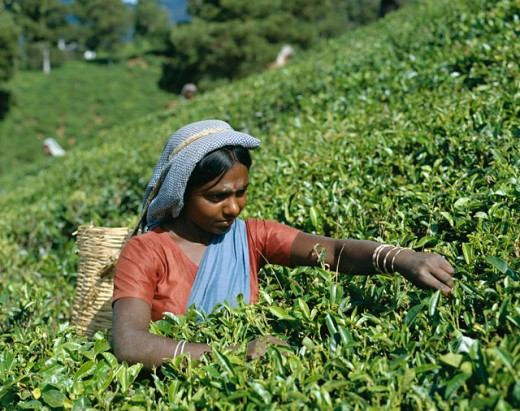 Mid adult woman picking tea leaves in a field, Nuwara Eliya, Sri Lanka : Stock Photo