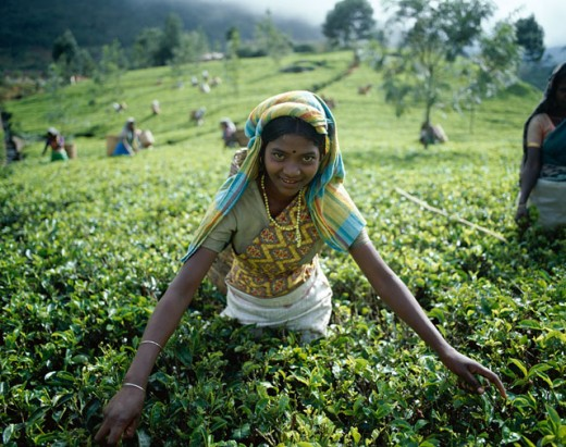 Stock Photo: 442-6557 Portrait of a mid adult woman picking tea leaves in a field, Nuwara Eliya, Sri Lanka