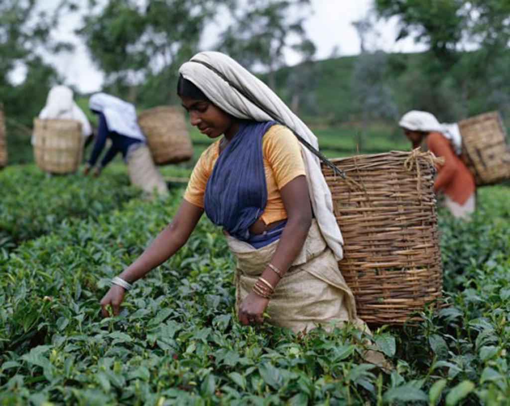 Group of women picking tea leaves in a field, Nuwara Eliya, Sri Lanka : Stock Photo