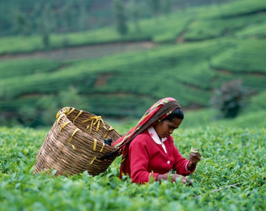 Stock Photo: 442-6560 Mid adult woman picking tea leaves in a field, Nuwara Eliya, Sri Lanka