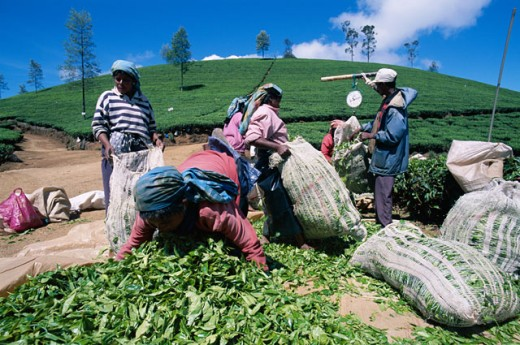 Group of people weighing tea leaves in a field, Nuwara Eliya, Sri Lanka : Stock Photo