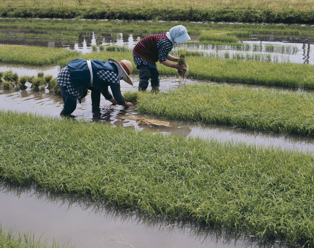 Stock Photo: 442-6753 Farmers planting rice in a field, Yamanashi, Honshu, Japan