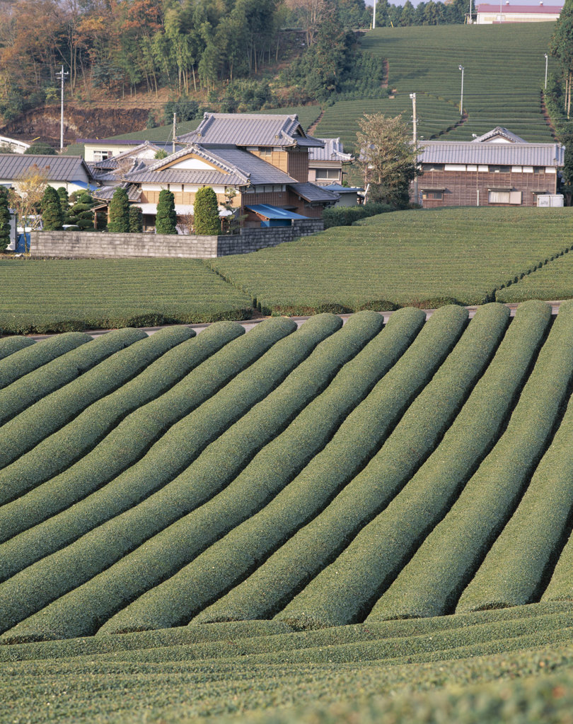 Stock Photo: 442-6756 High angle view of tea fields, Fuji, Honshu, Japan